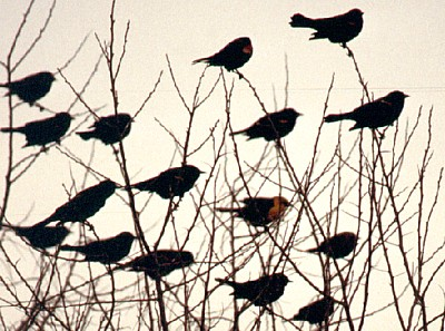 Blackbirds perched on a tree